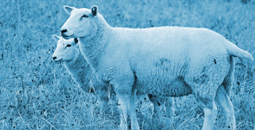 sheep-duo_blue